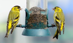 Feeding Time. (peterdouglas1) Tags: gardenbirds siskins