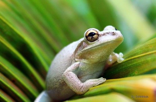 Tree Frog - Sheltered in the Palm