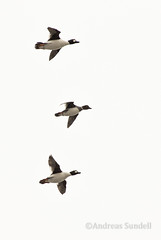 Bird Formation 2 (A.Sundell) Tags: lake bird nature rain weather birds animal prime duck pentax sweden natur swedish 300mm da raindrops birdsinflight sverige vatten f4 anka bif fglar sj djur fgel vstmanland surahammar naturfoto weathersealing framns naturphoto da300mm pentaxda300mmf4 pentaxda3004 pentaxk5