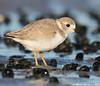 Walker (v4vodka) Tags: bird nature animal wildlife birding longisland birdwatching plover pipingplover charadriusmelodus westmeadowbeach pipingploverchick sieweczka siewka