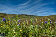 Wildflowers and Blue Sky (sierrasylvan) Tags: california flowers sky foothills nature clouds canon spring hiking sigma dandelion adobe wildflowers blooms lupine oroville skylupine buttecounty butterandeggs sierranevadafoothills canoneos50d lightroom3 valleytassels zeikos northtablemountainecologicalreserve photomatixpro4 adobephotoshopcs5 narrowleavedowlsclover adobebridgecs5 sigma1770mmf2845dcmacrolens zeikoscpl jonnytuck