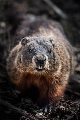Marmot Portrait (Justin Lo Photography) Tags: life wild ontario canada nature animal animals furry wildlife groundhog marmot creatures