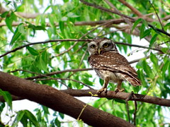 Spotted Owlet (Athene brama) | Ahmedabad, India | Apr 2013 (Shridev Parikh) Tags: bird birding owl owlet birdphotography birdsofindia spottedowlet athenebrama