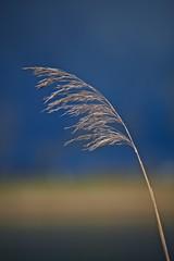 Sea grass (akarakoc) Tags: blue light blur nature yellow canon schweiz switzerland leaf shot bokeh swiss background natur perspective gelb 5d braun blau ef seagrass halm naturschutzgebiet mark3 greifensee seegras canonphotography 5dmarkiii 5dmark3 uploaded:by=flickrmobile flickriosapp:filter=nofilter
