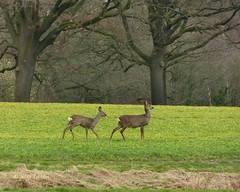 Roe Deer - Reen (joeke pieters) Tags: holland nature netherlands wildlife nederland roedeer achterhoek winterswijk ree woold platinumheartaward mygearandme mygearandmepremium mygearandmebronze mygearandmesilver mygearandmegold mygearandmeplatinum panasonicdmcfz150 1060312