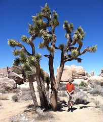 Joshua Tree (Joshua Tree National Park, California) (courthouselover) Tags: california ca me landscapes nationalparks joshuatreenationalpark sanbernardinocounty nationalparksystem