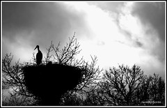 Custodiando o nio - Guarding the nest (Lombo Gordo) Tags: blackandwhite bw bird nid blancoynegro animal silhouette contraluz nest bn galicia ave animales silueta nido nio lugo oiseau stork vogel backlighting cigea storch cigogne cegoa hintergrundbeleuchtung rtroclairage rememberthatmomentlevel1 rememberthatmomentlevel2