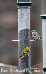 Siskins (Karen Appleyard Photography) Tags: bird nature birds scotland highlands nikon wildlife scottish siskin siskins ardmair