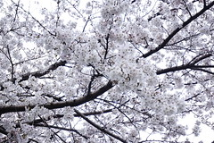 Kbe-shi (ddsnet) Tags: travel plant flower japan sony  cherryblossom  sakura nippon  kansai  nihon hanami  backpackers  flower     nex         cherry blossom  mirrorless japan hygoken   kbeshi flowerinjapan newemountexperience nex7