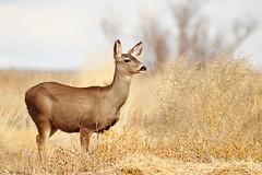 Mule deer (~Shanth) Tags: newmexico deer bosque nm muledeer bosquedelapache odocoileushemionus