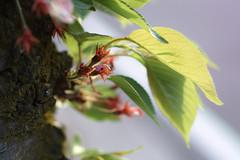 New Life (halfrain) Tags: city flower macro japan cherry 50mm town leaf sigma cherryblossom sakura merrill foveon sigma50mmmacro sigma50mm someiyoshino sd1 sigma50mmf28 yoshinocherrytree sigma5028macro 明舞団地 sd1merrill