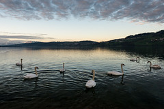 swans at dawn (orionarbor) Tags: sky lake water dawn schweiz switzerland swan wasser himmel wolken dmmerung schwan morgen delphin sunnrise hallwilersee seetal meisterschwanden sturmwarnung