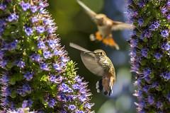 Hummingbird (Tajji101) Tags: flower bird nature animal female nikon hummingbird feeding outdoor allens hummingbirds orangecounty hummer flap huntingtonbeach smallest bif prideofmadeira trochilidae echiumfastuosum