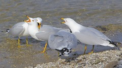 Ring-billed Gulls Chattering (milesizz) Tags: wisconsin gulls lakemichigan milwaukee waterfowl juvenile wi ringbilledgull larusdelawarensis southshoreharbor southshoreyachtclub