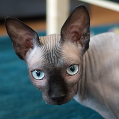 Portrait of Mouse the hairless cat (Sonia.Harris) Tags: sanfrancisco california cat mouse hairless hairlesscat