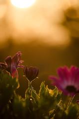 Daisies in the sunrise (Pahz) Tags: morning flowers sunlight plant flower nature daisies sunrise purple bokeh daisy africandaisy goldenhour