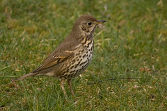 Song Thrush (Bassman99) Tags: blackisle gardenbirds scottishwildlife