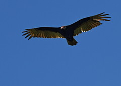 turkey vulture (Johnnyvacc) Tags: blue sky turkey vulture