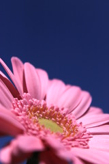 ( /  / POHAN) Tags: pink blue sky flower    cosmos