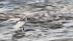 Skrattms - Black-headed Gull (Mona_Oslo) Tags: seagulls nature birds oslo mej fglar skrattms ms mke fugle hettemke monajohansson