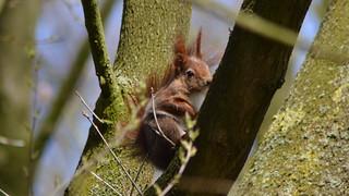 Eichhörnchen, NGID218658019