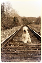 Finn on the tracks... (milikin) Tags: softcoatedwheatenterrier scwt ldlportraits ldlnoir