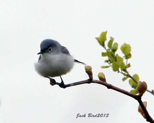 Blue-gray Gnatcatcher By Jack Bird
