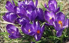 Purple crocus (HJsfoto) Tags: flowers spring blommor vr lule awesomeblossoms