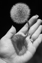 Handelion (Photography By Crystal Garcia) Tags: shadow blackandwhite bw white black flower weeds hand puff dandelion grayscale wish tone