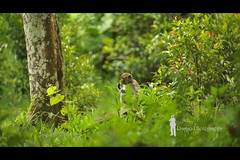Borneon Macaque (Ringgo Gomez) Tags: 1001nights awesomeshot nikon70200 concordians nikond700 batterthangood sarawakborneo 1001nightsmagiccity flickrawardgallery