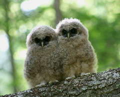Northern Spotted Owlets (USFWS Pacific) Tags: