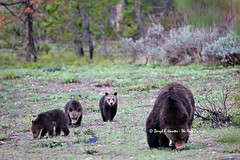 Three Grizzly Cubs (Daryl L. Hunter - The Hole Picture) Tags: usa cute unitedstates wyoming coy grandtetonnationalpark grizzlycubs 2013 springcubs cubsoftheyear grizzly399 wildgrizzlies