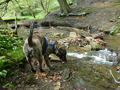 (The Chairman 8) Tags: trees dog water leaves fur legs beck stones branches tail bank canine valley brook brindle hooch shibden queensbury shibdenvalley alsationcross shibdenbrook