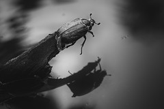 Melancholia (Alexander Lukinsky) Tags: bw macro reflection water bug stick 58mm helios44m maybug sovietlens 450d  42 44