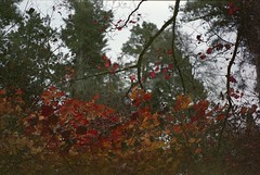 . (dichohecho) Tags: trees film analog analogue pentaxmesuper fujisuperia400 westonbirtarboretum ubuphotosoc roll59 dichohecho