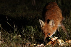 Nocturnal Fox keeps a watchful eye as she gathers food (Tyrone Williams) Tags: nightphotography animal night nocturnal wildlife fox 7d foxes vixen redfox foxcub strobist canon7d feedingfoxes