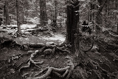 the forest is sleeping (bluechameleon) Tags: trees blackandwhite bw leaves forest moss rainforest rocks roots northvancouver lynncanyon lynnvalley bluechameleon artlibre sharonwish artlibres bluechameleonphotography