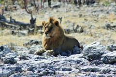 I am the king! (ugreeb2002) Tags: lwe lion namibia etosha animal wildlife nature fantasticnature natur afrika topf25