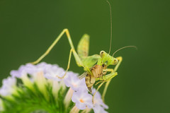 Macro (Isaac Chiu5433) Tags: canonef100mmf28macrousm flower insect macro macrophoto macrophotography forest mantis