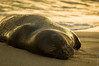 IMGP1428 (Steve Axt) Tags: monkseal hawaii wildlife beach lifeaquatic kauai poipu