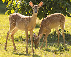 DSC_1776 (Angel Cher ) Tags: fawn whitetailed deer