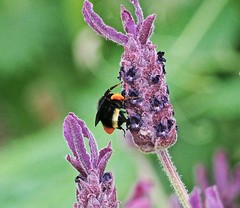 Bee on Lavender Stalk - (Explore #429, Sept. 3/2016) . (Irene, W. Van. BC) Tags: bees bee allbees pollen pollengatherers lavender flowers flowerpower floweringshrubs allflowers allanimals insects bugs wildlife wonderfulnature lovelynature explore