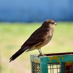Chimango sobre un sesto (Jose Lozada (Argentina)) Tags: ave bird de rapia pajaro nature naturaleza argentina cordoba chimango cesto basura