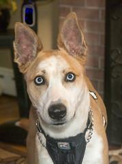 Finn portrait (Explore) (Frank (NianticPhoto)) Tags: dog portrait visit eastlyme connecticut unitedstates nikond7100 nikon1870mmf3545g