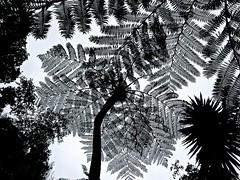 Monochrome Ferns (Pufalump) Tags: monochrome black white tree palm botanical garden nature leaves sky