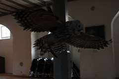 DSC_6223 (Joachim S. Müller) Tags: eule owl greifvogel raubvogel birdofprey vogel bird tier animal falknershow falknerei falconry jagtschlosskranichstein jagtschloss kranichstein darmstadt hessen deutschland germany