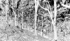 White and Black forest (OzzRod) Tags: pentax k1 supertakumar28mmf35 monochrome blackandwhite inverted bushland forest trees stitch panorama murrahstateforest pentaxart