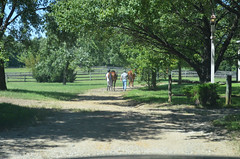 2016-08-28 (17) Miss Nicole arrives at 'horse show' (JLeeFleenor) Tags: photos photography md maryland horseshow gambrills horses thoroughbreds equine equestrian cheval cavalo cavallo cavall caballo pferd paard perd hevonen hest hestur cal kon konj beygir capall ceffyl cuddy yarraman faras alogo soos kuda uma pfeerd koin حصان кон 马 häst άλογο סוס घोड़ा 馬 koń лошадь