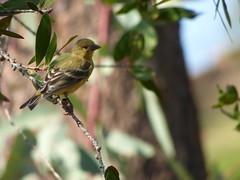 P1010356 (valsworld98) Tags: bird yellow