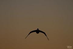 IMG_2982 - Sunset flight (Stephen Baldwin Photography) Tags: lake macquarie sunset landscape elebanna